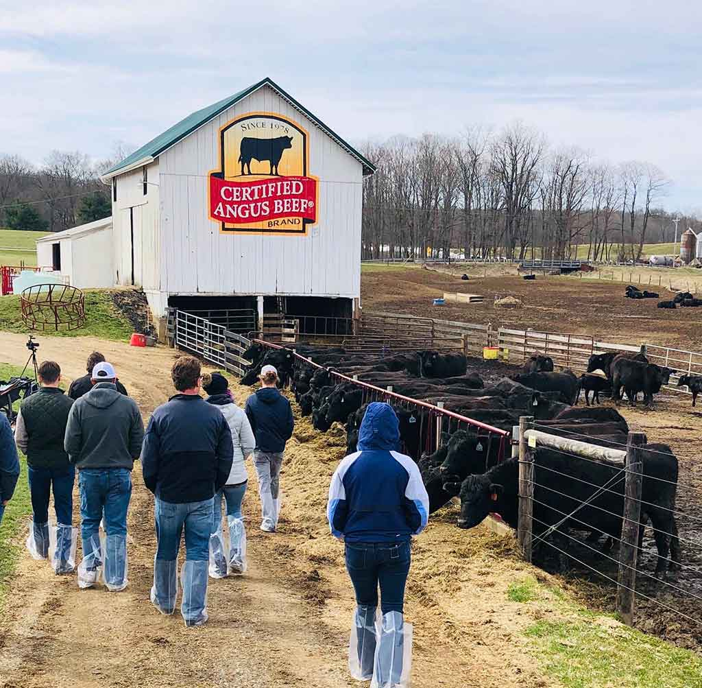 Visiting the farm, walking by Angus cattle feeding with white barn in the background.